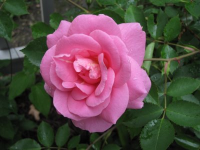 Perfect Prairie Princess Singe Rose