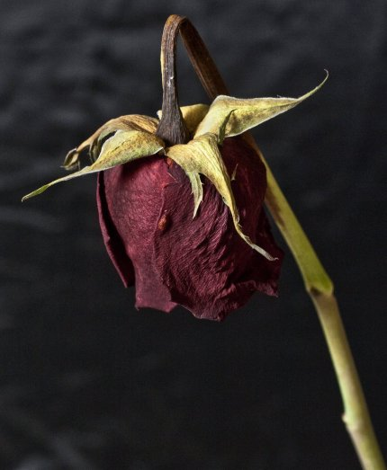 dead_rose_by_electricsixx-d3arng3