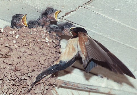 Barn-Swallow-nest-photo-by-Richard-Van-Vleck